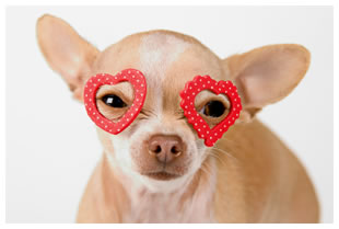 Chihuahua wearing heart glasses