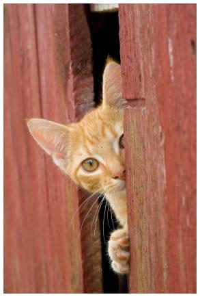 Curious Ginger Kitten