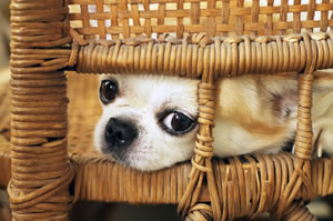 Gold colored Chihuahua puppy sitting on a woven chair.