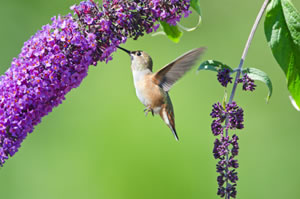 Rufous Hummingbird feeding on a purple Butterfly Bush