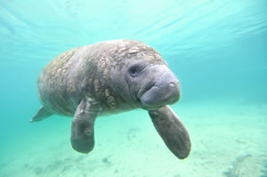 Florida Manatee Sea Cow swimming in clear, blue water.