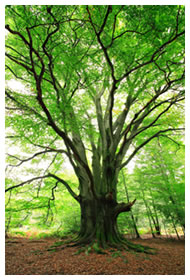 Gigantic Beech tree