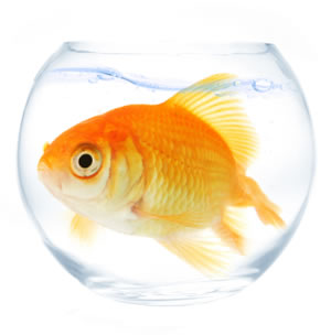 Over-sized goldfish in a small bowl