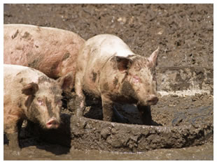 Pigs wallowing in the mud