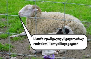 Sheep saying Llanfairpwllgwyngyllgogerychwyrndrobwllllantysiliogogogoch