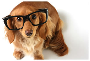 Studious Dachshund puppy wearing black rimmed glasses