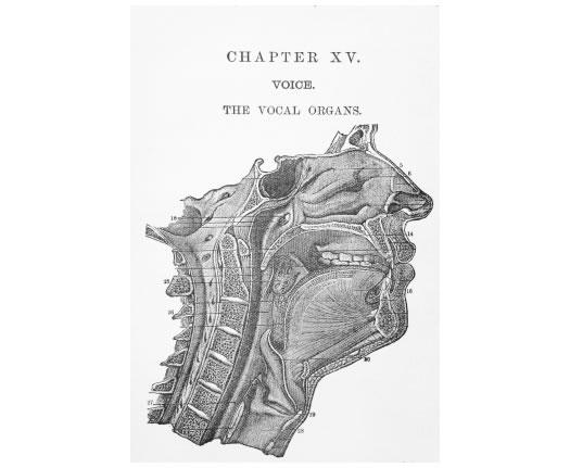 organs of speech. Diagram of the vocal organs
