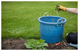 Weeding thistles in the garden