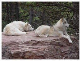 White Wolves in the Black Hills
